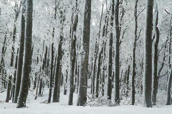 ARBRES-recouverts-de-neige-vercors