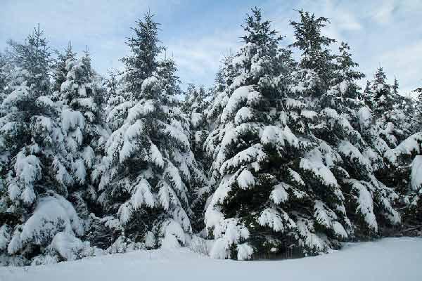 sapin-sous-neige-vercors