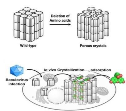In-Cell Molecular Structure Sieve from the Protein Crystal