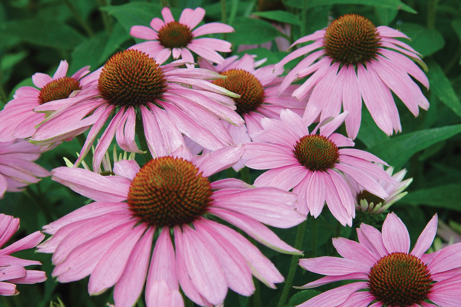10 Great Flowers For Central Indiana Engledow Group