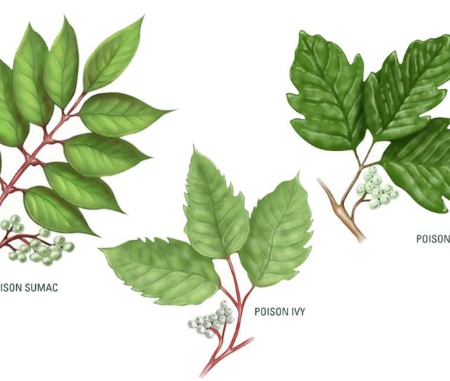 Poison Ivy Poison Oak Poison Sumac