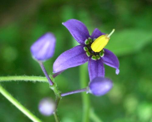 https://i0.wp.com/www.english-country-garden.com/a/i/flowers/woody-nightshade-3.jpg