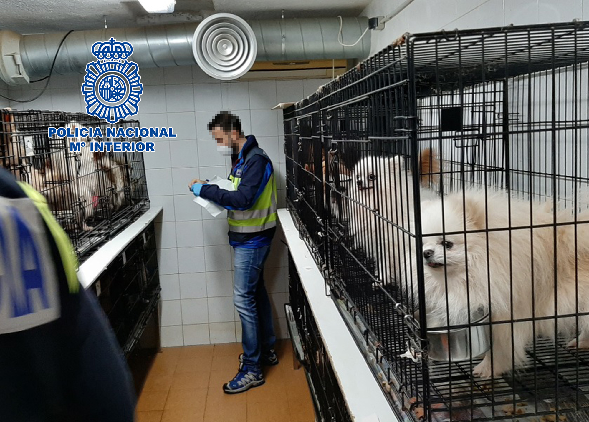 Policia Nacional rescue 270 Chihuahuas in illegal breeding raids