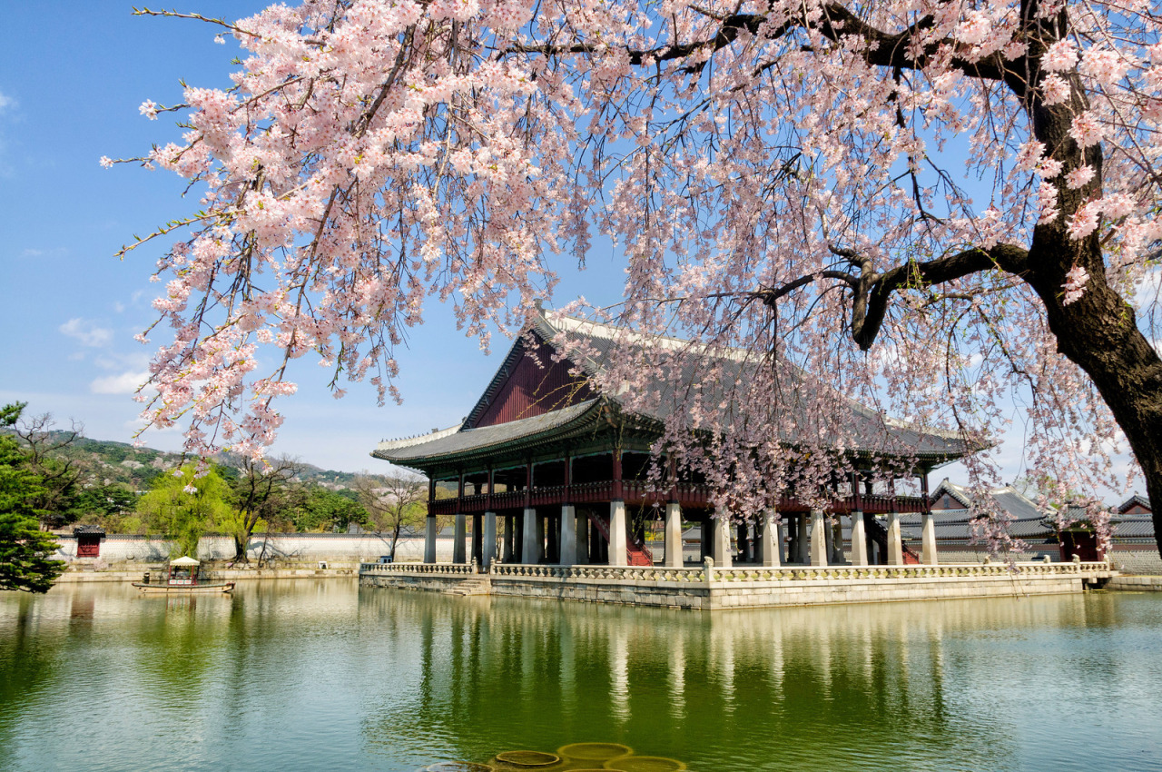 Falling Cherry Blossom Wallpaper Hd Cherry Blossoms Seoul Version Hiexpat Korea