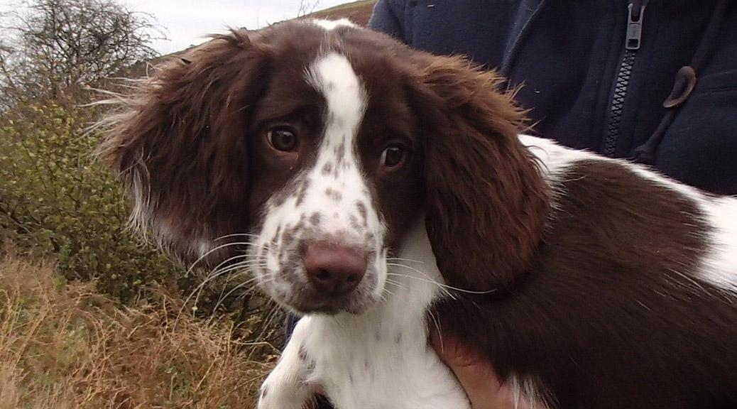 1-handsome-english-springer-spaniel-pups-for-sale-529769f022c71