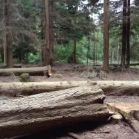 felled hemlock at barlavington