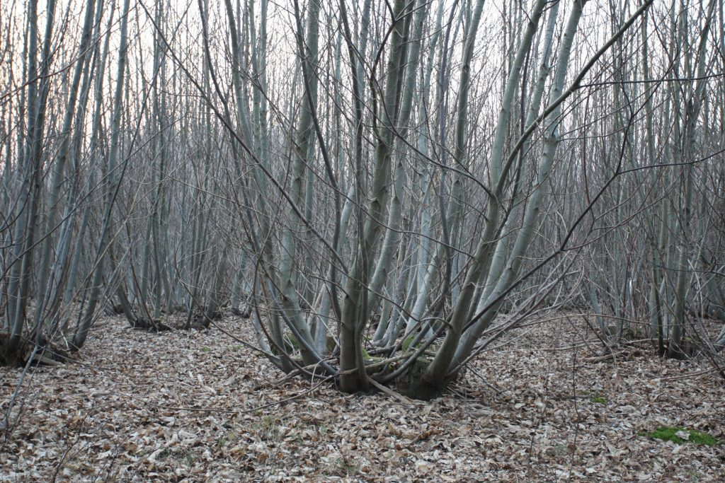 coppice chestnut woodland on cowdray estate