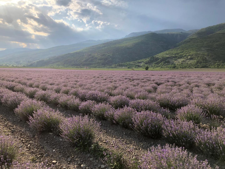 hight resolution of 2018 lavender crop peport img 6421 jpg