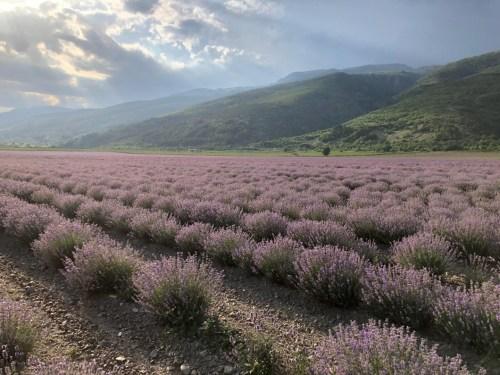 small resolution of 2018 lavender crop peport img 6421 jpg