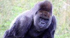 gorilla-israel