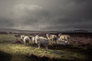 De Tehilim, los Salmos del rey David, uno de los temas que aborda el rey David en el famoso Salmo 23 es: por qué sufren las ovejas buenas.