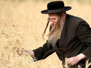 Cuenta del Omer. Rabino recogiendo trigo