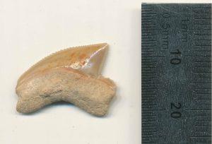 Científicos descubrieron una colección de dientes de tiburón en la Ciudad de David en Jerusalén podrían pertenecer a un espécimen del Cretácico Superior
