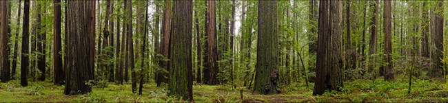 Image: Redwood forest panorama, Humboldt Redwoods State Park, Humboldt County, California