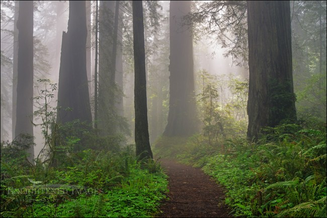 Image: Damnation Creek Trail, Redwood forest and fog, Del Norte Redwoods State Park, Redwood National and State Parks, California