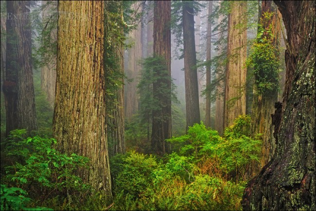 Image: Redwood forest and fog, Redwood National and State Parks, Del Norte County, California