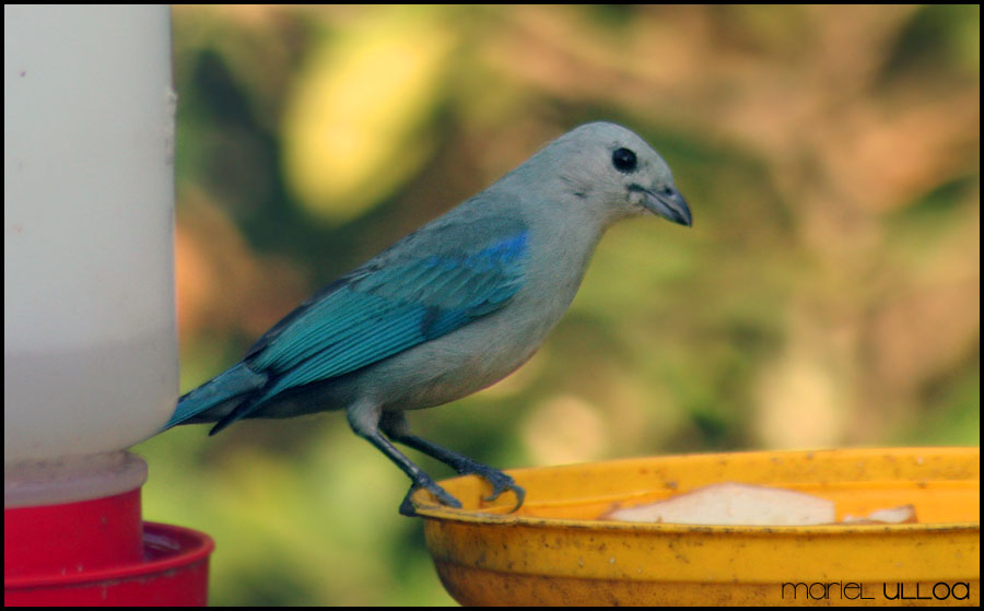Tangara Azuleja  Blue gray Tanager Thraupis episcopus