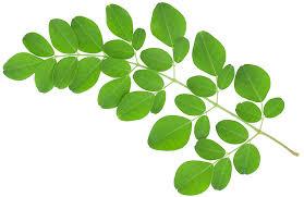 辣木叶 Moringa Leaf