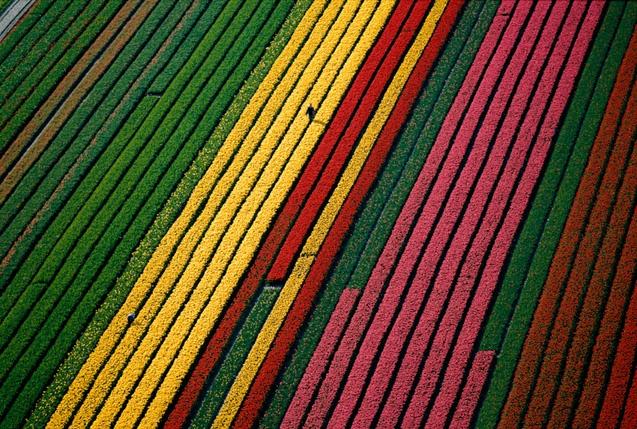 champs de tuliples