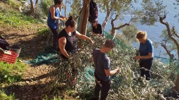 """Positano. Turismo esperenziale a Nocelle con """"Fondo Ulivello"""", raccolta olive con turiste australiane"""