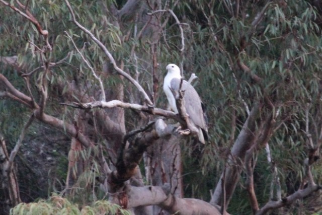 White-bellied Sea Eagle on the Hawkesbury River.