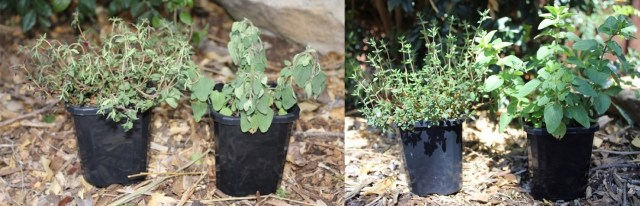 Thirsty herbs vs. watered herbs