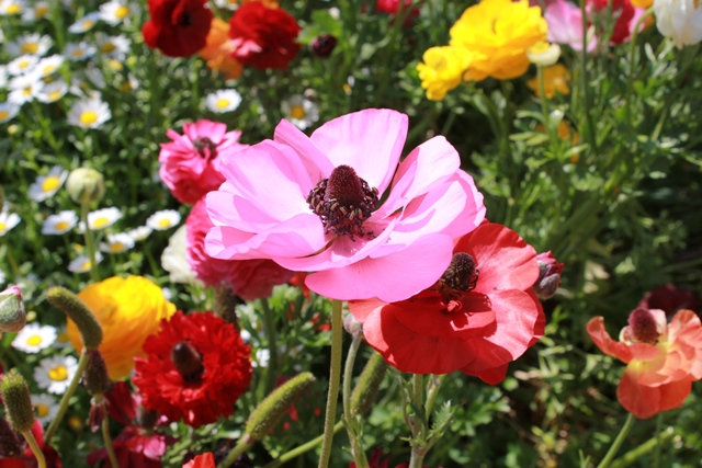 Pink, Red and Yellow Poppies