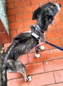 NS-cane grigio-bianco magrezza