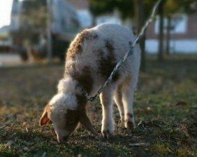 agnello pascola-NS-0020
