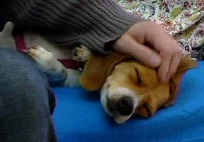 cane beagle-NS