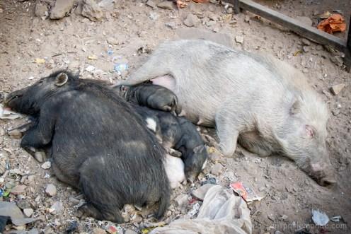 Bundi, sieste porcine