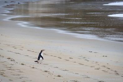 Péninsule d'Otago - Pinguin aux yeux jaunes