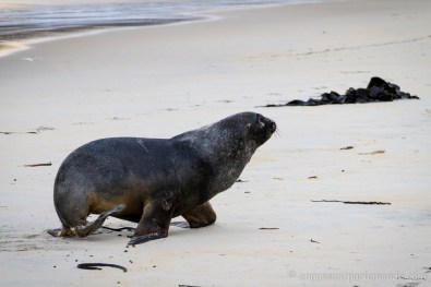 Péninsule d'Otago - Lion de mer