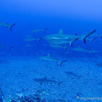 Requins gris de récif