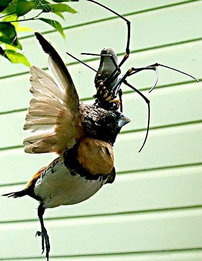 Araña capaz de comerse un pájaro