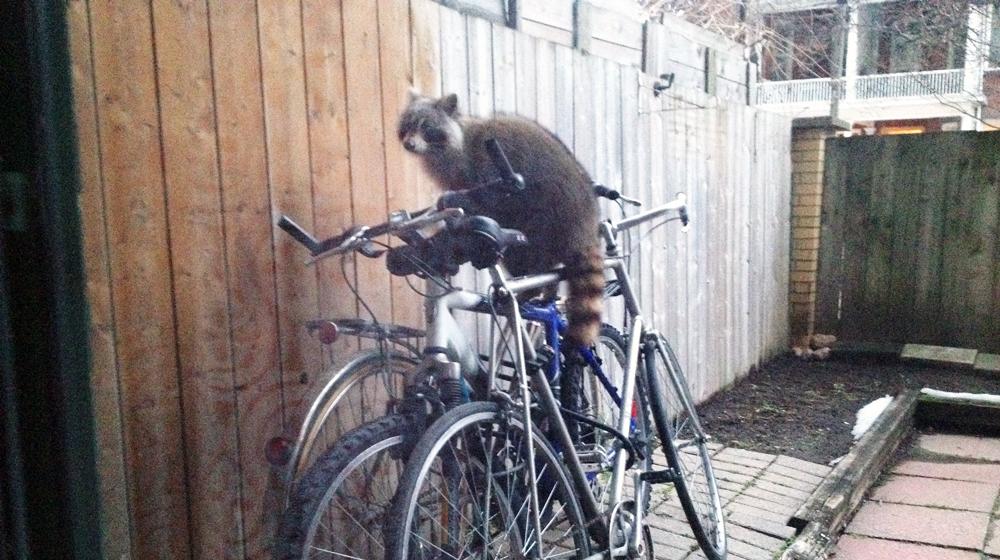 mapache bici