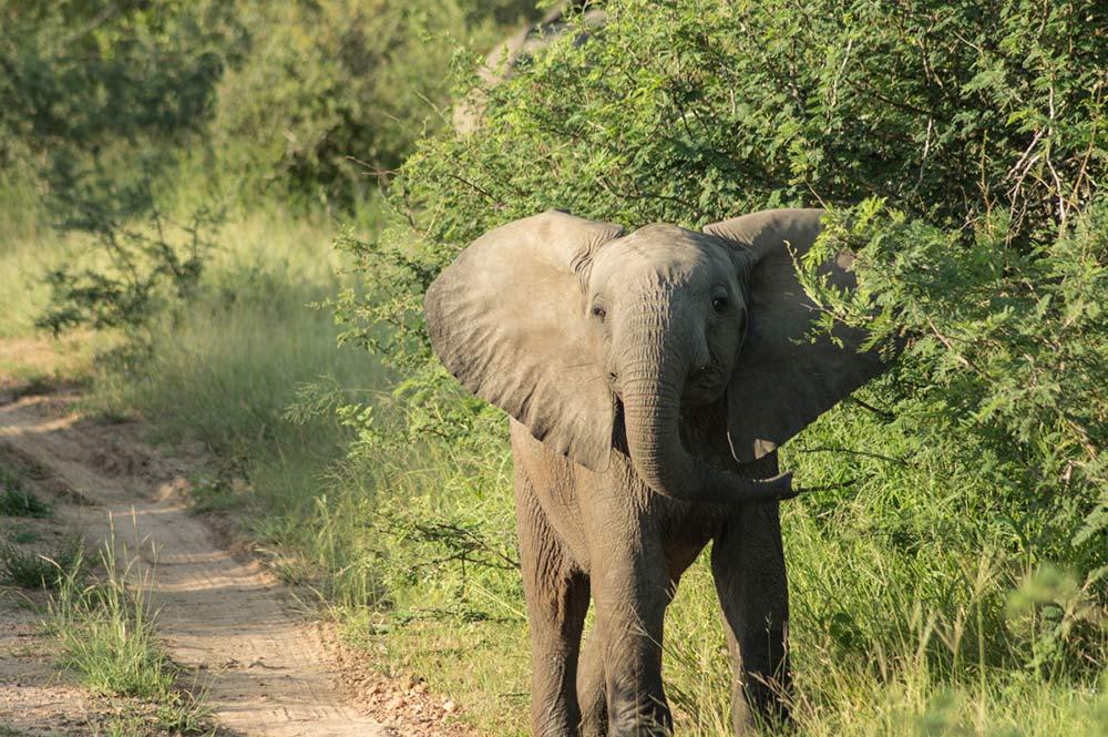 safari-kruger-elefantes
