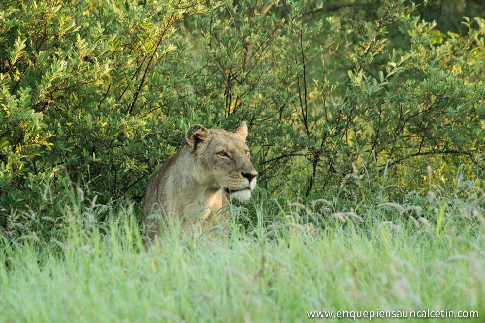 leona safari kruger