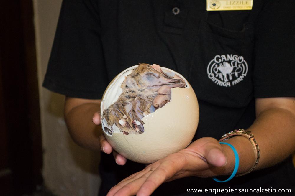 avestruz saliendo del huevo