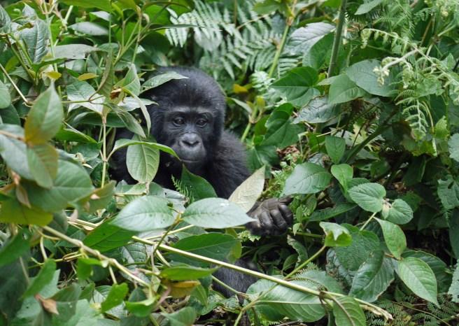 gorilas en Uganda