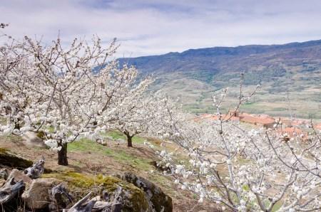 cerezos en flor valle del jerte