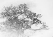 Alexandre Hollan, Grand chêne sur le plateau de Viols-le-Fort matins d'été, 2011 Fusain, H.65 x L.100 cm Collection particulière Courtesy Galerie Marie Hélène de La Forest Divonne © photo Illès Sarkantyu © ADAGP Paris 2016