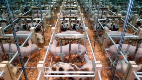 Pascal Bernier - Farm Set Piglets, 1997-2018 (interieur) - Bêtes de scène à la Villa Datris - Survies Animales