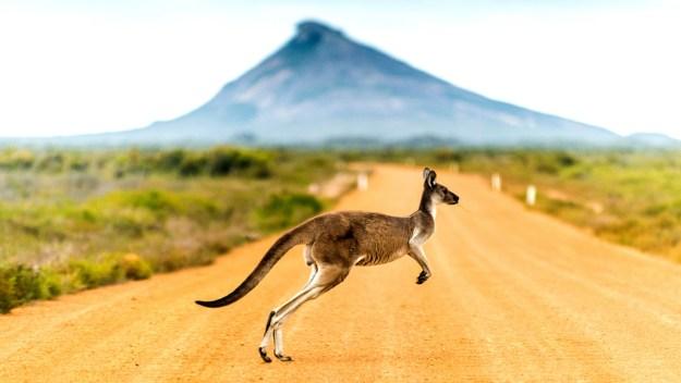 Kangaroo-Outback