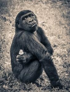 Vídeo de enriquecimiento ambiental para primates. gorila.