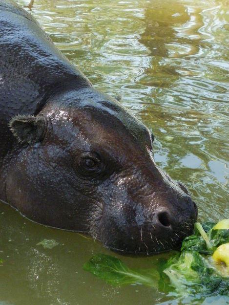 Helados de lechuga para hipopótamo.