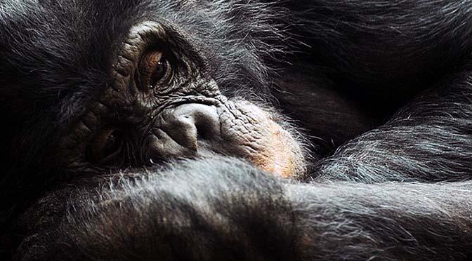 Problemas mentales en grandes simios.
