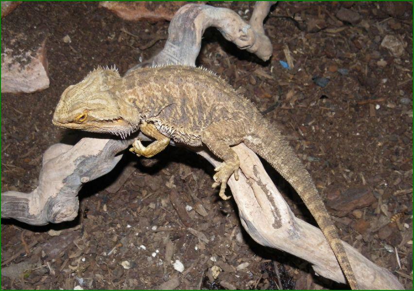 Patologías asociadas a la alimentación de los reptiles. Pogona