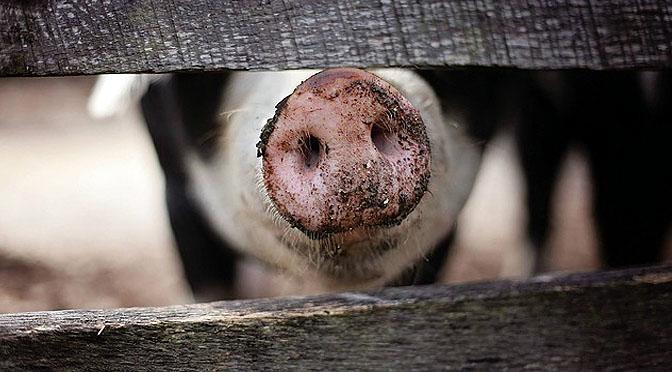 El humor también es cosa de cerdos.