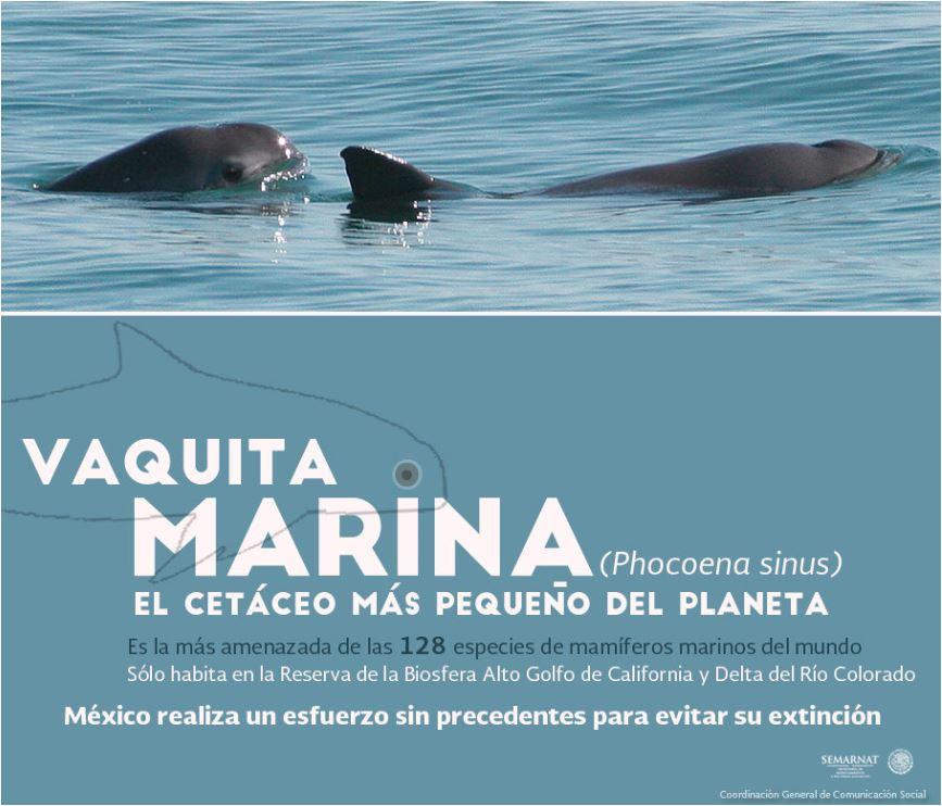 Las vaquitas marinas son tímidos y difíciles de encontrar, por lo que la Marina está utilizando delfines.